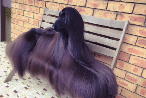 'Supermodel' dog becomes Internet sensation because of glorious hair