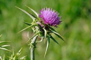 Anti aging AND diabetes prevention? 6 remarkable benefits of milk thistle